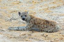 Hyäne im Etoscha-Nationalpark Namibia 3 - Spotted Hyena Africa von Eddie Scott