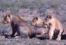 Lions in africa - Löwen im Etoscha-Nationalpark Namibia von Eddie Scott
