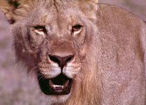Young male african lion - Junglöwe Namibia von Eddie Scott