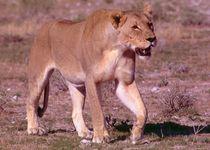 Female Lion Africa - Löwin in Namibia Etoscha von Eddie Scott