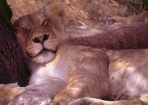 Junger Löwe in Namibia - Lion cub resting in africa von Eddie Scott
