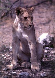 Young african lion sitting - Löwe Jungtier Namibia von Eddie Scott