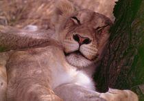 Sleeping african lion - Löwe in Namibia von Eddie Scott