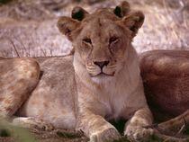 Lion cub resting - Löwen- Jungtier Afrika von Eddie Scott