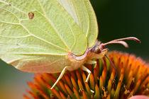 Zitronenfalter Detail mit Auge. Brimstone butterfly close-up by Katho Menden