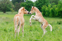 Haflinger Fohlen spielen und steigen. Haflinger horses foals playing and rearing by Katho Menden