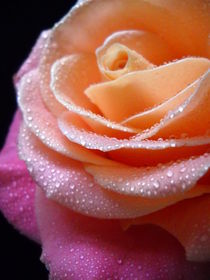 Rose Macro by vitta