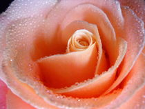 Gentle Rose by vitta