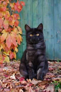 Kätzchen vor blauer Holztür. Cute kitten in front of a blue wooden door  von Katho Menden