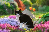 Katze im bunt blühenden Garten. Tuxedo cat in a flowery garden von Katho Menden