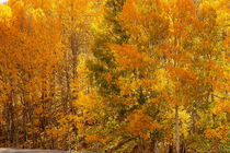 American Diary  Aspen trees in autumn von franco franceschi