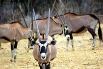 Oryxantilopen Etoscha Nationalpark Namibia by Eddie Scott