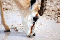 Springbock beim Trinken -Etoscha Nationalpark Namibia Afrika von Eddie Scott