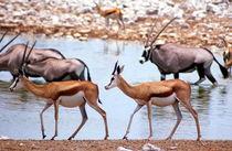 Springböcke und Oryxantilopen Etoscha Nationalpark Namibia by Eddie Scott