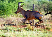 Hartebeest im Sprung -Antilope Namibia Afrika II von Eddie Scott