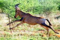 Hartebeest im Sprung -Antilope Namibia Afrika by Eddie Scott