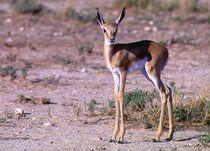 Impala-Antilope Jungtier Namibia - Africa II von Eddie Scott