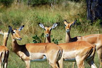 Impala Gruppe im Etoscha Nationalpark Namibia Afrika von Eddie Scott