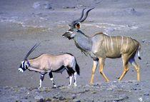 Oryxantilope und Kudu-Bulle Etoscha Nationalpark Namibia by Eddie Scott
