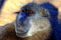 Pavian-Gesicht - Baboon Face - Namibia Africa by Eddie Scott