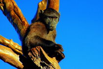 Pavian in Namibia - Baboons in Africa by Eddie Scott