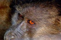 Pavian-Augen - Baboon Eyes by Eddie Scott