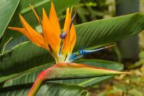 Strelitzie-Paradiesvogelblume von Udo Seltmann