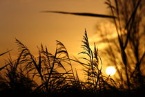 Sonne im Schilf - Sun in the reeds by ropo13