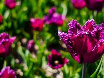 Tulips von detailreich-fotografie