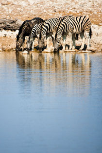 Plains Zebra from Northern Namibia Drinking by Matilde Simas