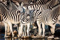 Plains Zebra from Northern Namibia at a Waterhole by Matilde Simas