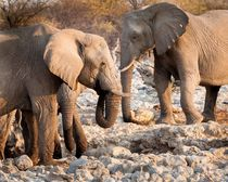 Elephants Drinking in Etosha Game Preserve von Matilde Simas
