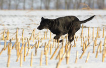 Labrador im Schnee - Labrador in the snow by ropo13