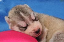 Siberian Husky Welpe by Michael Ebardt