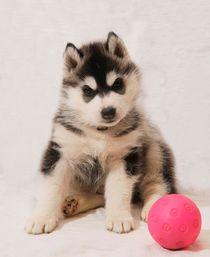 Siberian Husky Puppy by Michael Ebardt