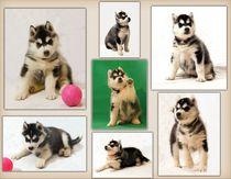 Husky Puppies Collage von Michael Ebardt