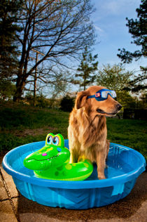 Golden retriever in pool with goggles von Ken Howard