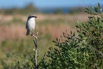 Loggerhead-shrike