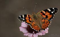 Schmetterling by Sandra Probstfeld