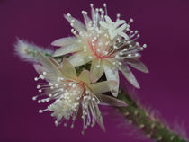 Makroaufnahme der Kaktusblüte(rhipsalis pilocarpa),pistills of cactus flower, blossoms von Dagmar Laimgruber