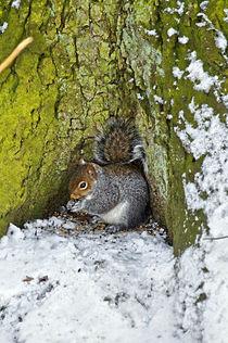 Grey Squirrel with its Food Store von Rod Johnson