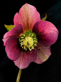 Hellebore flower by Pete Hemington
