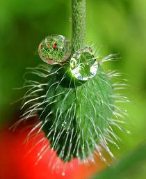 Poppy seed by Pete Hemington