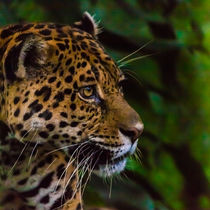 jaguar profile by Craig Lapsley