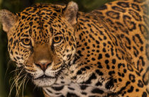 Jaguar facing the camera by Craig Lapsley
