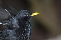 Eurasian Blackbird by Víctor Suárez