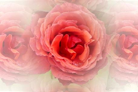 Rose-1089-83-ch-druck