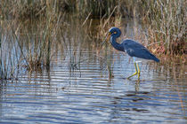 Tricolored Heron walking the Wetlands by John Bailey