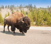 American Bison Sharing The Road In Yellowstone by John Bailey