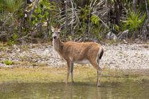 Key Deer Portrait by John Bailey